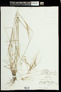 Nassella leucotricha image