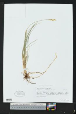 Pascopyrum smithii image