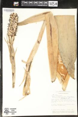 Aechmea bromeliifolia image