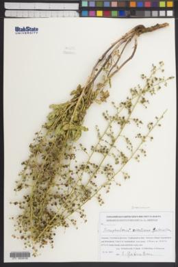 Image of Scrophularia variegata