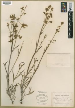 Allionia linearifolia image