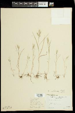 Image of Bromus molliformis