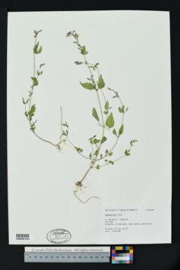 Cuphea wrightii image