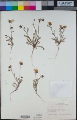 Phacelia fremontii image
