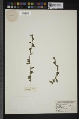 Image of Polygonum buxifolium