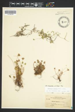 Marsilea oligospora image