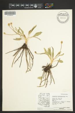 Ranunculus hydrocharoides image