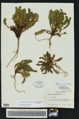 Phacelia pinkavae image