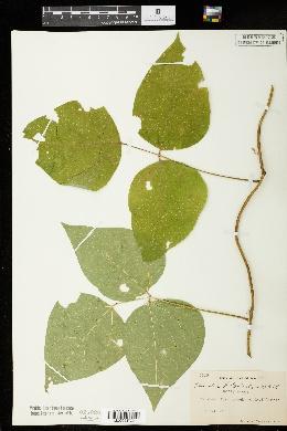 Phaseolus polystachios image