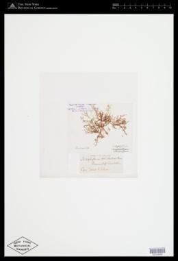 Acrosorium ciliolatum image