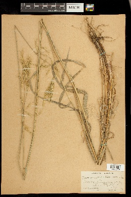 Bromus orcuttianus image