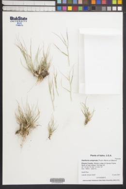 Image of Danthonia unispicata