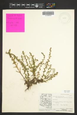 Veronica peregrina subsp. xalapensis image