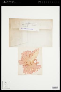 Polyneura bonnemaisonii image