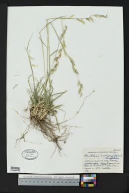 Bouteloua radicosa image
