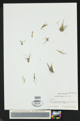 Limosella acaulis image