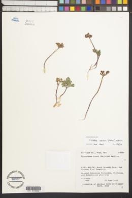 Cymopterus minimus image