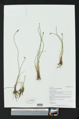 Eleocharis macrostachya image