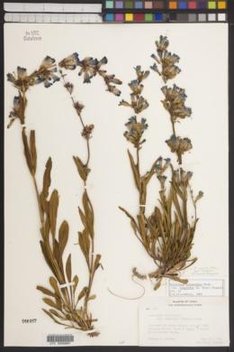 Penstemon cyananthus var. subglaber image