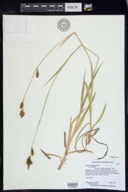 Carex luzulina image