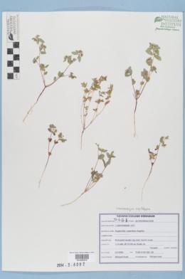 Chamaesyce capitellata image