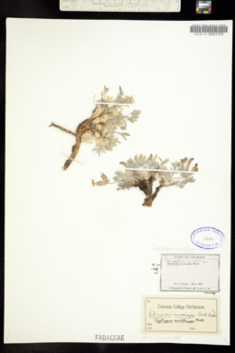 Oxytropis multiceps image