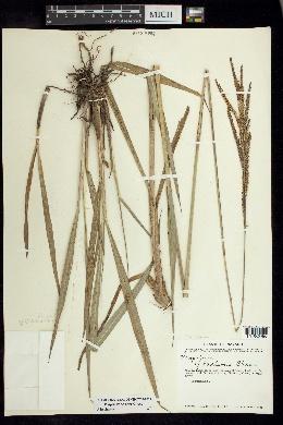 Image of Paspalum nelsonii