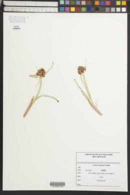 Image of Cyperus capitatus