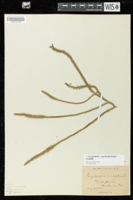 Lycopodiella x copelandii image