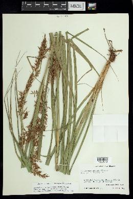 Image of Rhynchospora schiedeana