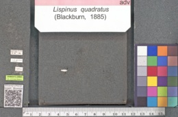 Image of Lispinus quadratus