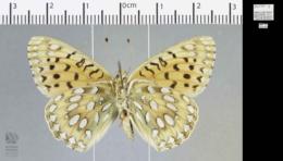 Speyeria mormonia eurynome image