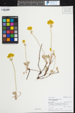 Eriogonum umbellatum var. umbellatum image