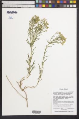 Image of Artemisia inaequifolia