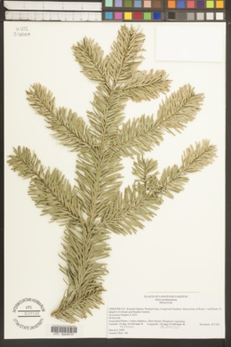 Image of Abies nordmanniana