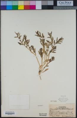 Blitum nuttallianum image