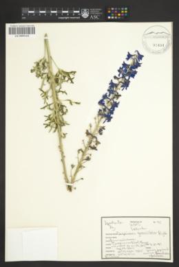 Delphinium geraniifolium image