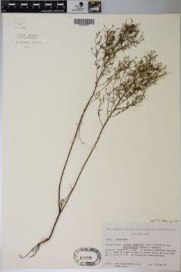 Lechea leggettii var. moniliformis image