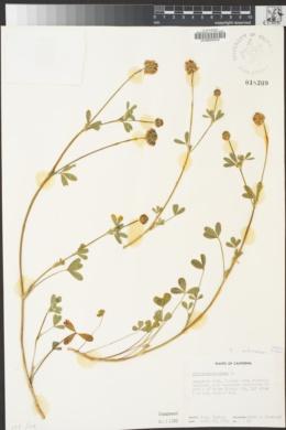 Trifolium ciliolatum image