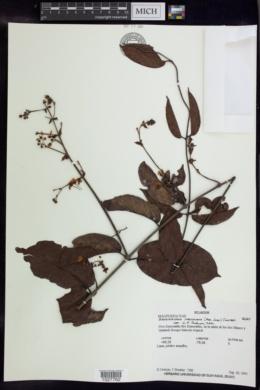 Image of Banisteriopsis martiniana