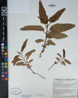 Eucalyptus citriodora image