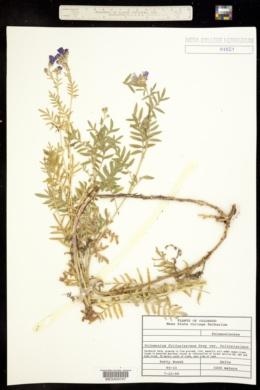 Polemonium foliosissimum var. foliosissimum image