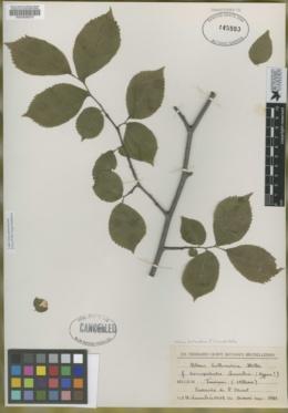 Image of Ulmus hollandica