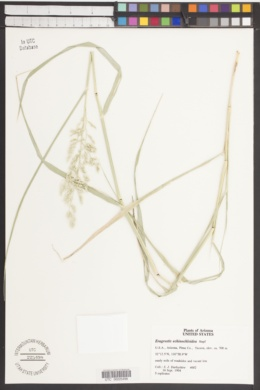 Eragrostis echinochloidea image