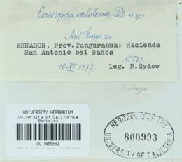 Pseudocercospora caloloma image