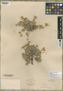 Stenotus scaber image