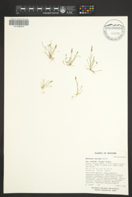 Myosurus nitidus image