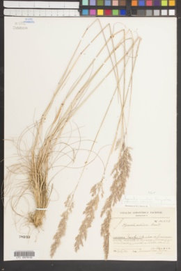 Image of Agrostis curtisii