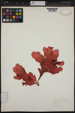 Loranthophycus californicus image