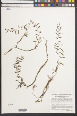 Image of Potamogeton mysticus
